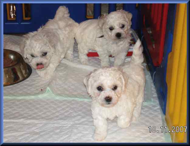 Bichon Frise Welpenaufzucht Bei Honey Dream 39 S
